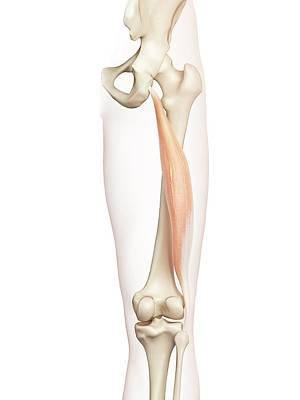 Human Thigh Muscle Poster by Sciepro