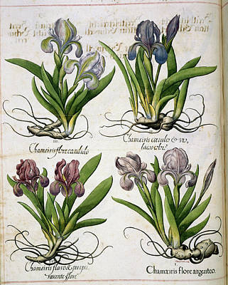 Iris Poster by British Library