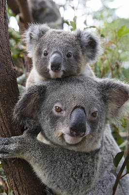 Koala Mother And Joey Australia Poster by Suzi Eszterhas