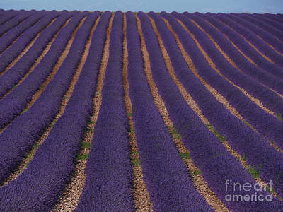 Lavender Field, French Provence Poster by Adam Sylvester