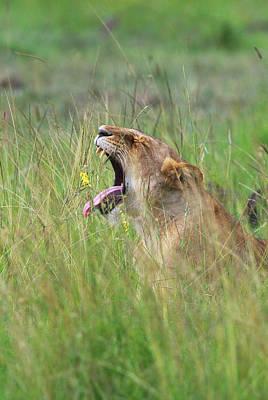 Lion On The Savannah, Maasai Mara Poster by Keren Su