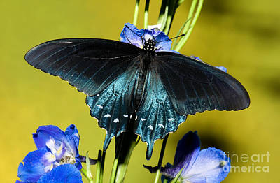 Pipevine Swallowtail Butterfly Poster by Millard H. Sharp