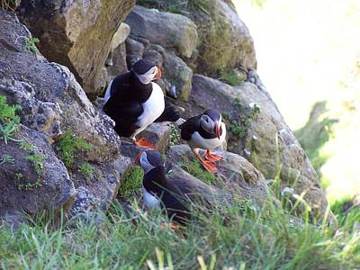 3 Puffins Poster by George Leask