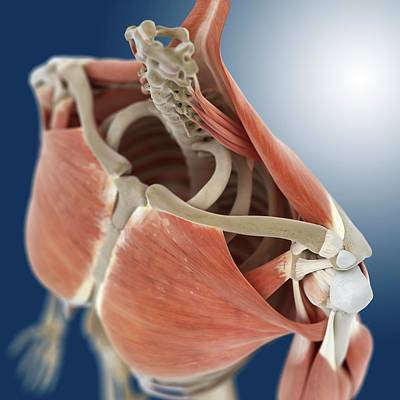 Shoulder And Chest Anatomy Poster by Springer Medizin