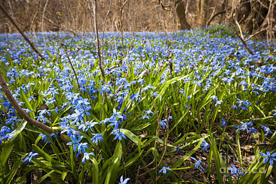 Spring Blue Flowers Poster by Elena Elisseeva