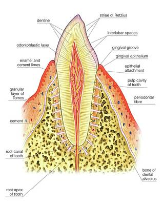 Structure Of Incisor Tooth Poster by Asklepios Medical Atlas
