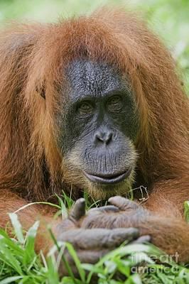 Sumatran Orangutan Poster by Tony Camacho