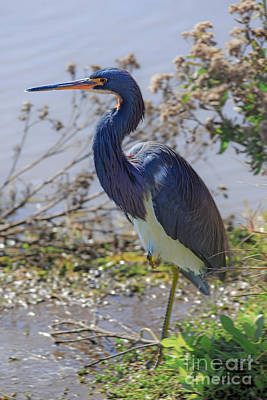 Tricolored Heron Poster by Louise Heusinkveld