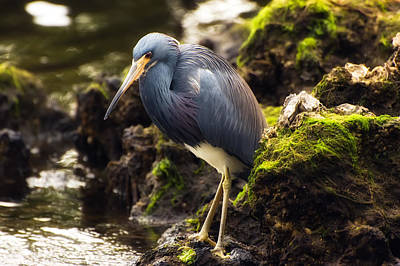 Tricolored Heron Poster by Rich Leighton