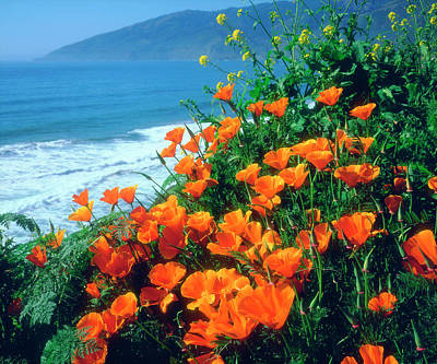 Usa, California, California Poppies Poster by Jaynes Gallery