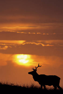 Usa, California, Sunset, Tule Elk Poster by Gerry Reynolds