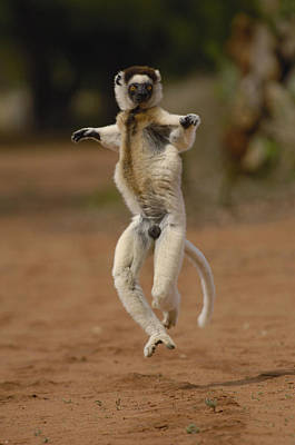 Verreauxs Sifaka Hopping Berenty Poster by Pete Oxford
