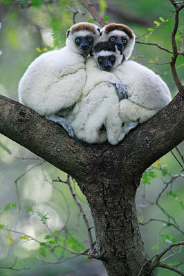 Verreauxs Sifaka Propithecus Verreauxi Poster by Cyril Ruoso