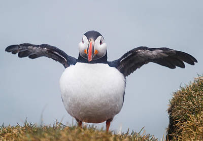 Atlantic Puffin Fratercula Arctica Poster by Panoramic Images