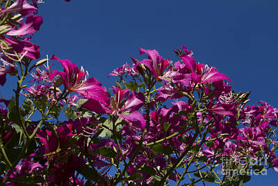 Bauhinia Purpurea - Hawaiian Orchid Tree Poster by Sharon Mau