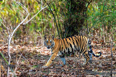 Bengal Tiger Panthera Tigris Tigris Poster by Panoramic Images
