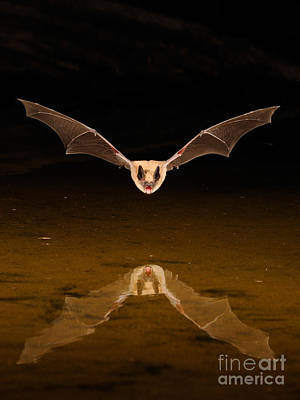 Big Brown Bat Poster by Scott Linstead