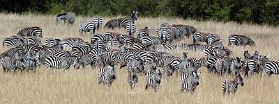 Burchells Zebra Equus Quagga Burchellii Poster by Panoramic Images
