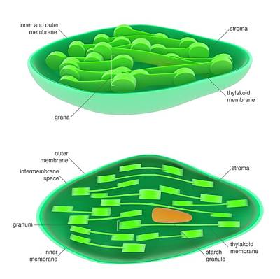 Chloroplast Poster by Science Photo Library
