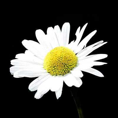 Daisy Flowers  Poster by Toppart Sweden