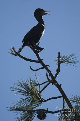 Double-crested Cormorant Poster by John Shaw