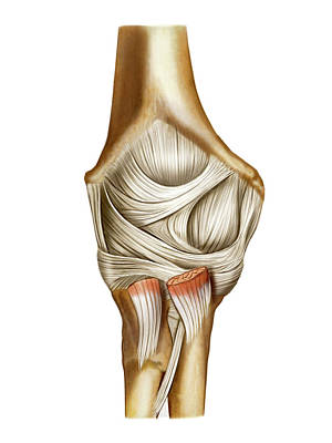 Elbow Joint Poster by Asklepios Medical Atlas