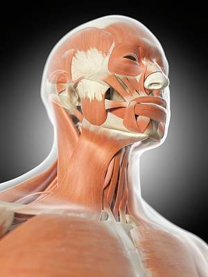 Human Facial Muscles Poster by Sciepro