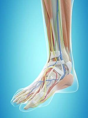 Human Foot Anatomy Poster by Sciepro