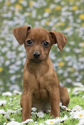 Miniature Pinscher Puppy Poster by Jean-Michel Labat