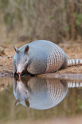 Nine-banded Armadillo (dasypus Poster by Larry Ditto