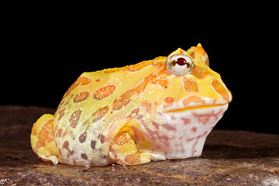 Pac Man Frog Ceratophrys Poster by David Kenny
