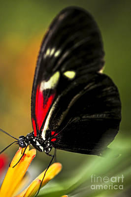 Red Heliconius Dora Butterfly Poster by Elena Elisseeva