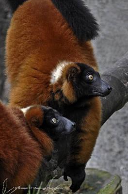Red-ruffed Lemur Poster by Winston D Munnings