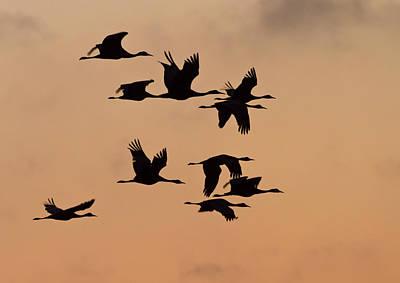 Sandhill Cranes (grus Canadensis Poster by William Sutton