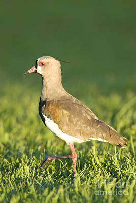 Southern Lapwing Poster by William H. Mullins