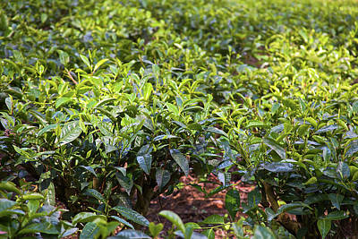 Tea Plants (camellia Sinensis Poster by Connie Bransilver