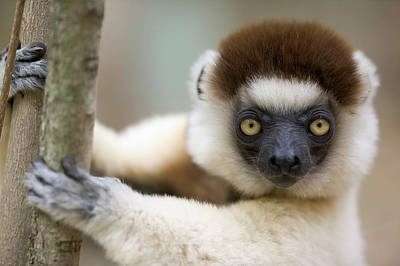 Verreauxs Sifaka In Berenty Poster by Cyril Ruoso