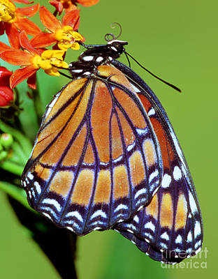 Viceroy Butterfly Poster by Millard H. Sharp