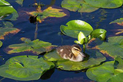 Wa, Juanita Bay Wetland, Mallard Duck Poster by Jamie and Judy Wild
