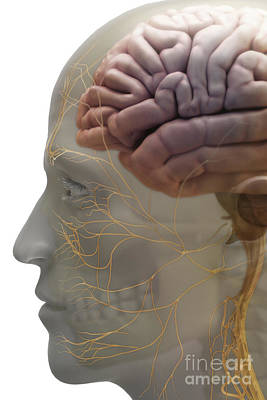 Human Brain Poster by Science Picture Co