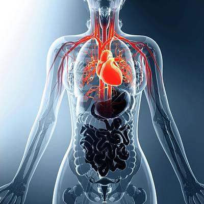 Human Cardiovascular System Poster by Pixologicstudio
