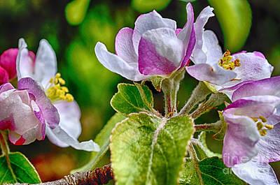 Apple Tree Blossom Poster by Thomas R Fletcher