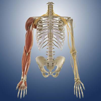 Arm Muscles, Artwork Poster by Science Photo Library