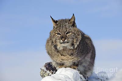 Bobcat Poster by John Shaw