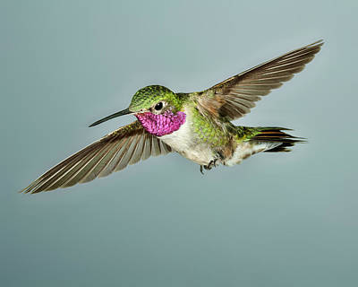 Broadtail Hummingbird Poster by Gregory Scott