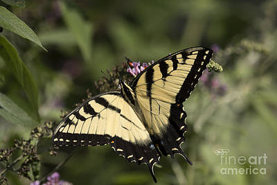 Eastern Tiger Swallowtail Series Poster by Cris Hayes