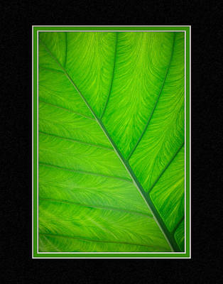 Elephant Ear Leaf Close-up Poster by Charles Feagans