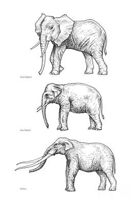 Elephant Evolution, Artwork Poster by Gary Hincks