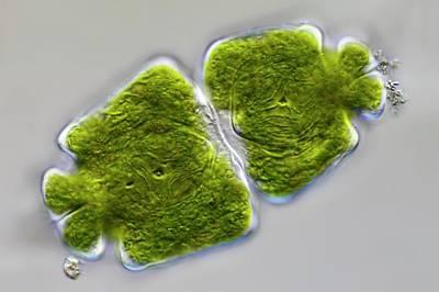 Green Algae Poster by Frank Fox