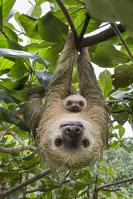 Hoffmanns Two-toed Sloth And Old Baby Poster by Suzi Eszterhas